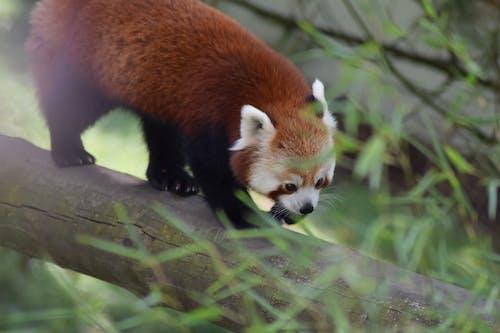 Close Up Shot of a Red Panda
