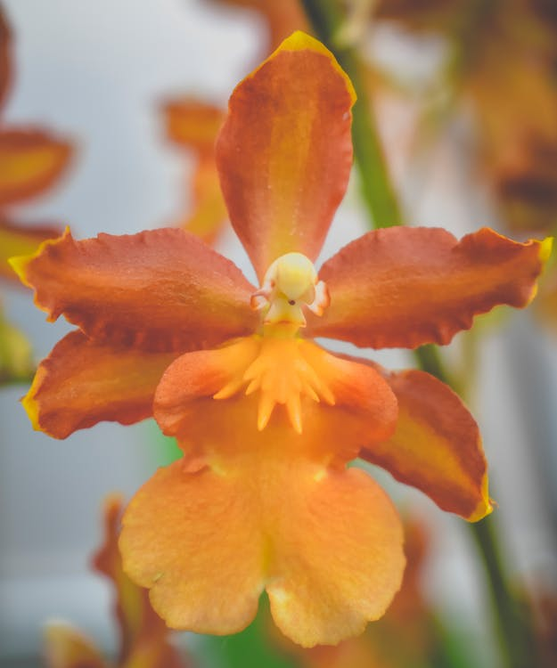 Closeup of delicate blossoming burgeon of Epidendrum Orchid flower growing in lush garden