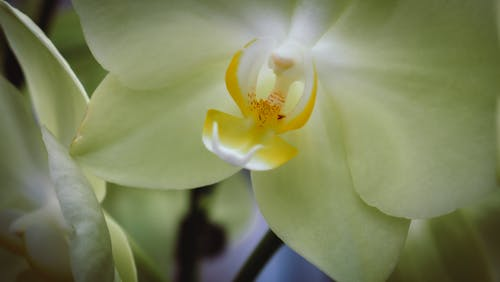 Macro shot of fresh blossoming Phalaenopsis Orchid burgeon with gentle petals and long stems