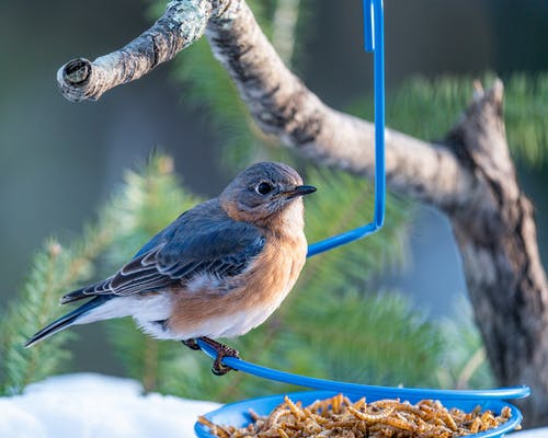 Closeup of little colorful female bird from thrush family sitting on blue feeder with larvas hanging on coniferous tree branch