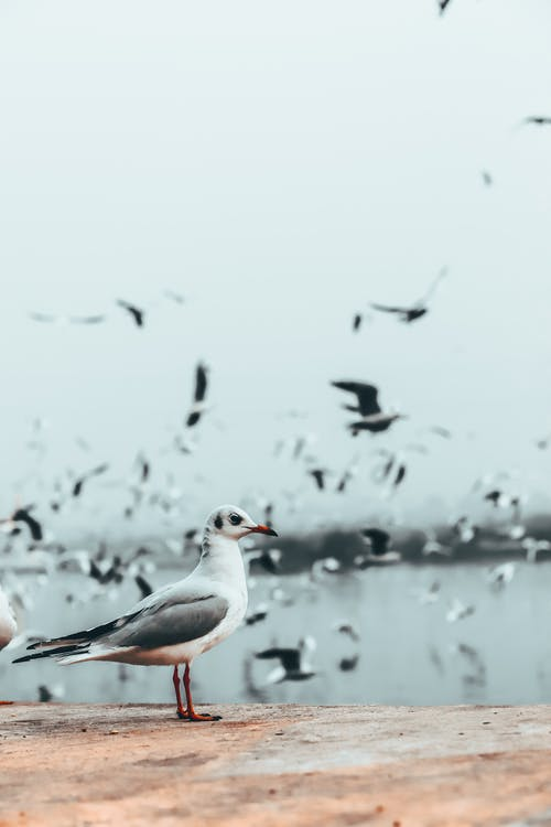 Side view of wild seagull with white plumage and pointed beak standing on coast of sea on blurred background of flying birds on overcast day