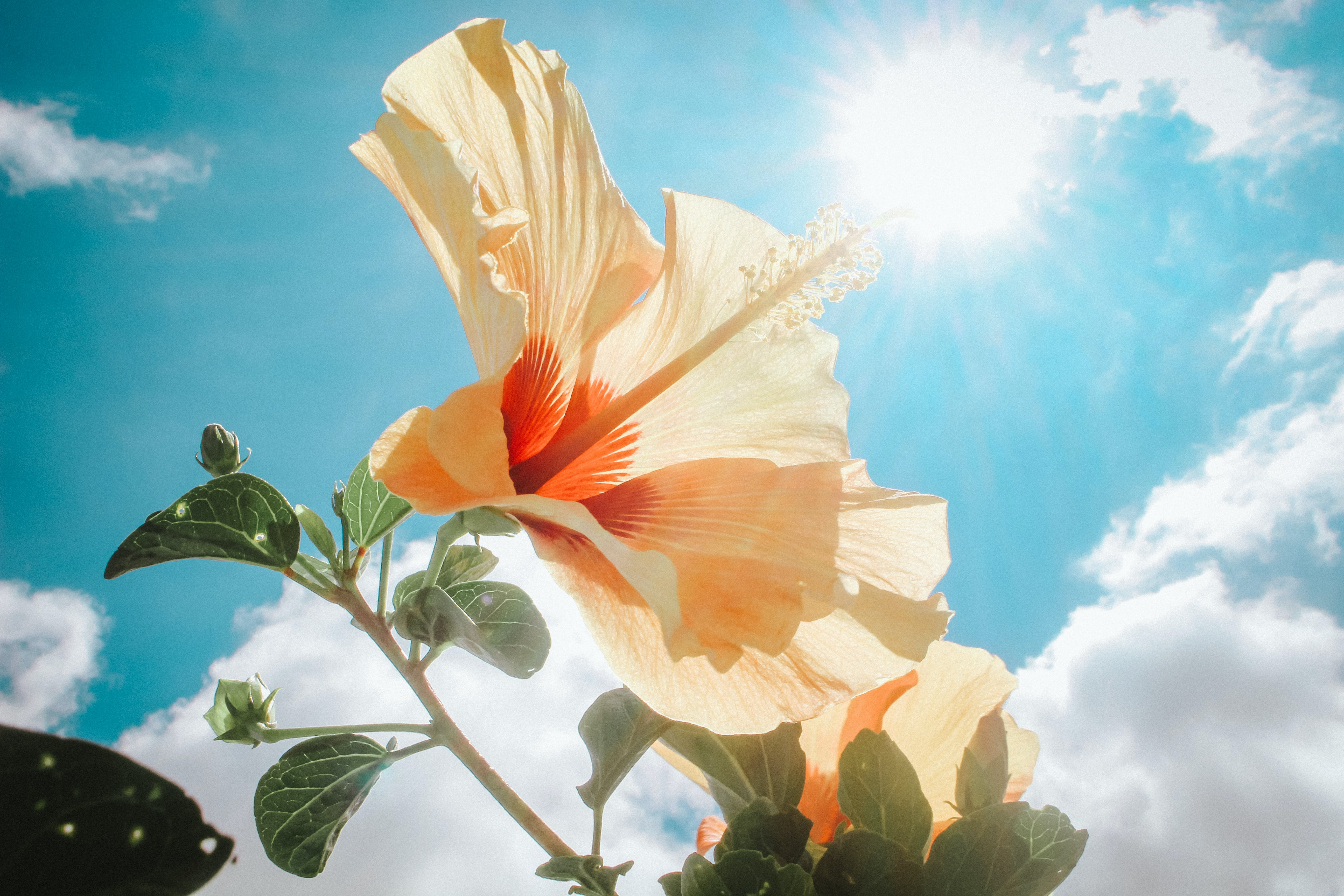 Photography of Yellow Hibiscus Under Sunlight