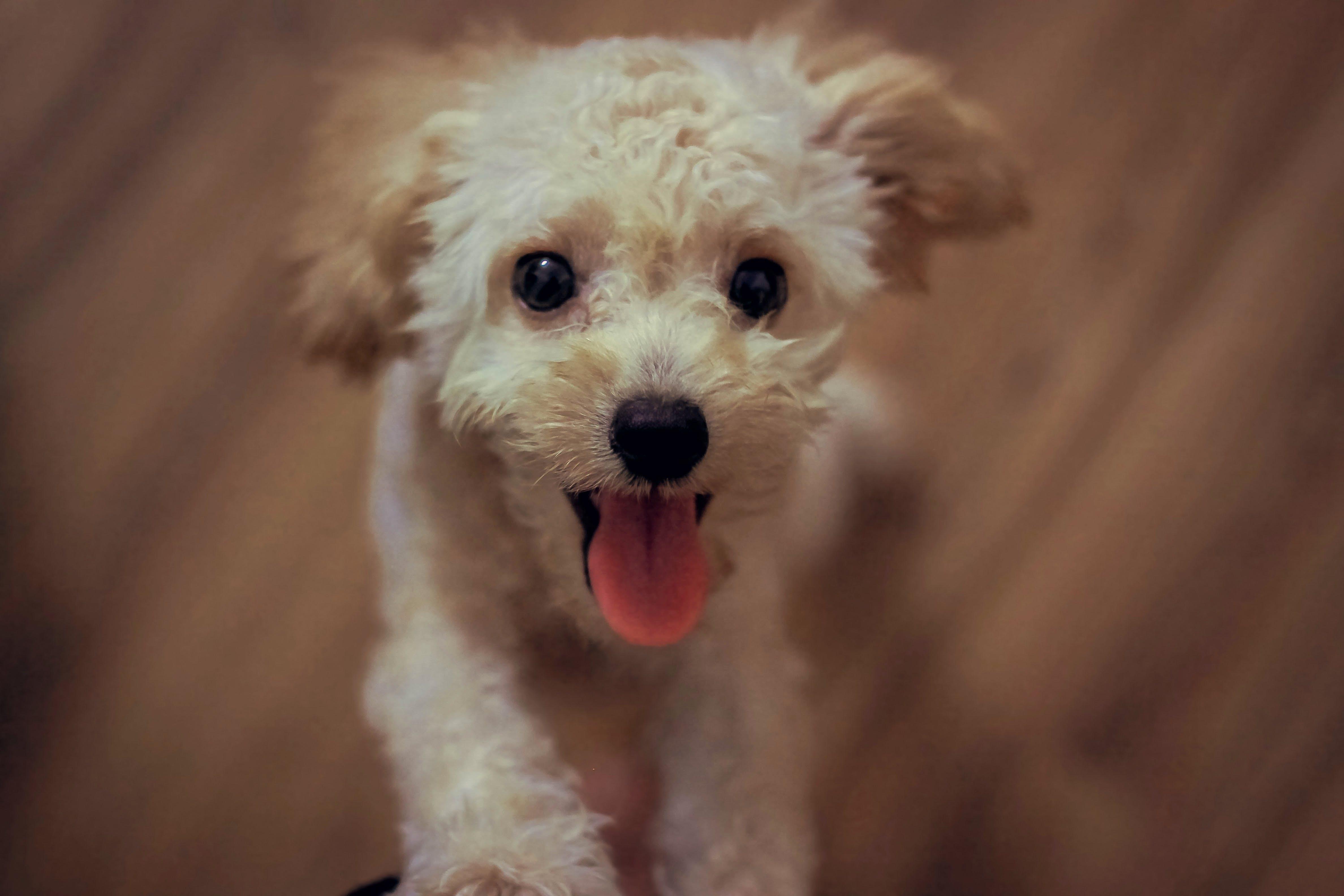 Cream Toy Poodle