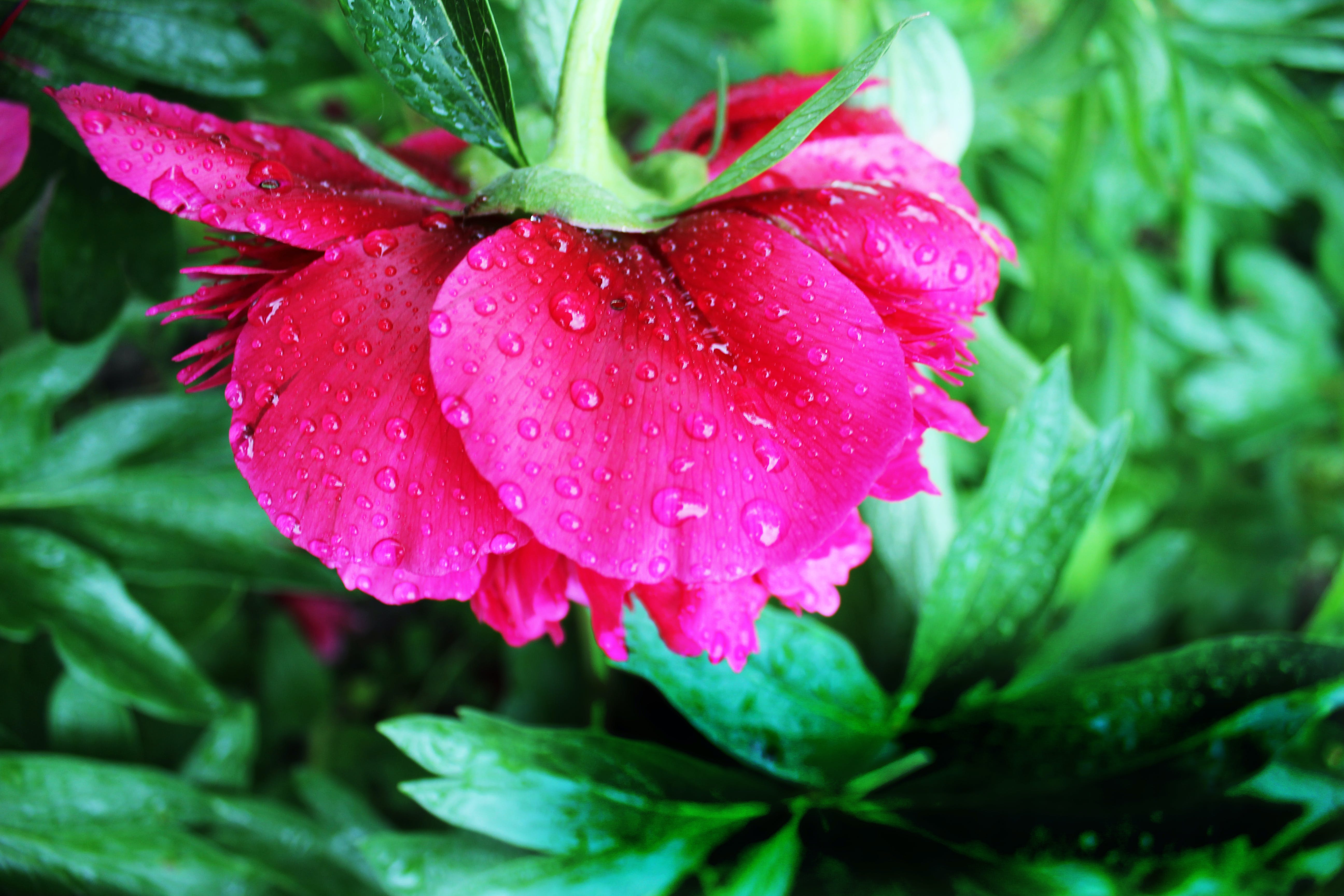 Pink Peony Flower in Closeup Photography
