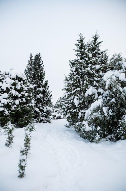 Kostnadsfri bild av barrträd, dimma, finland