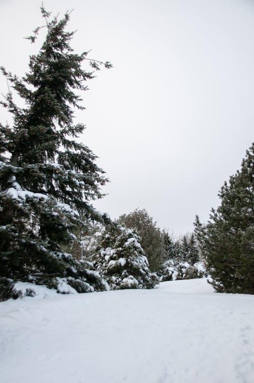 Kostnadsfri bild av barrträd, berg, dimma