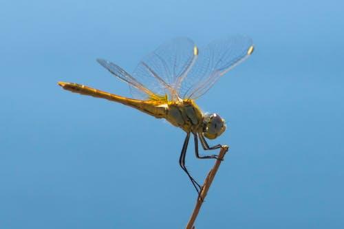 Fotos de stock gratuitas de ala de libélula, alas doradas, azul, dorado