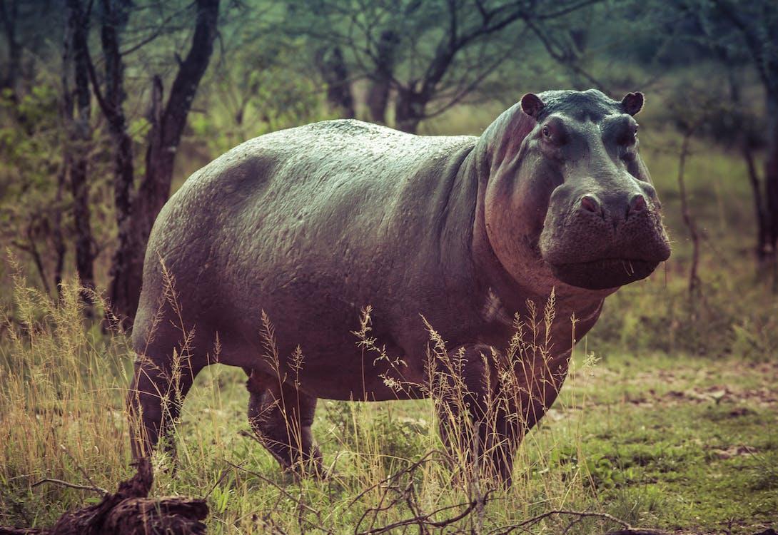 Kuda nil merupakan salah satu hewan terbesar di dunia!