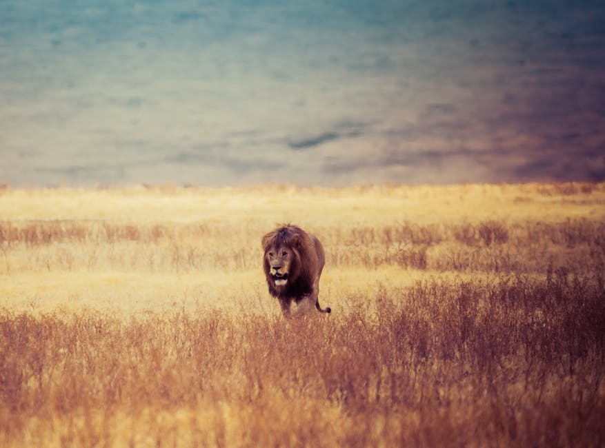 Brown Lion Walking on Brown Withered Grass Field