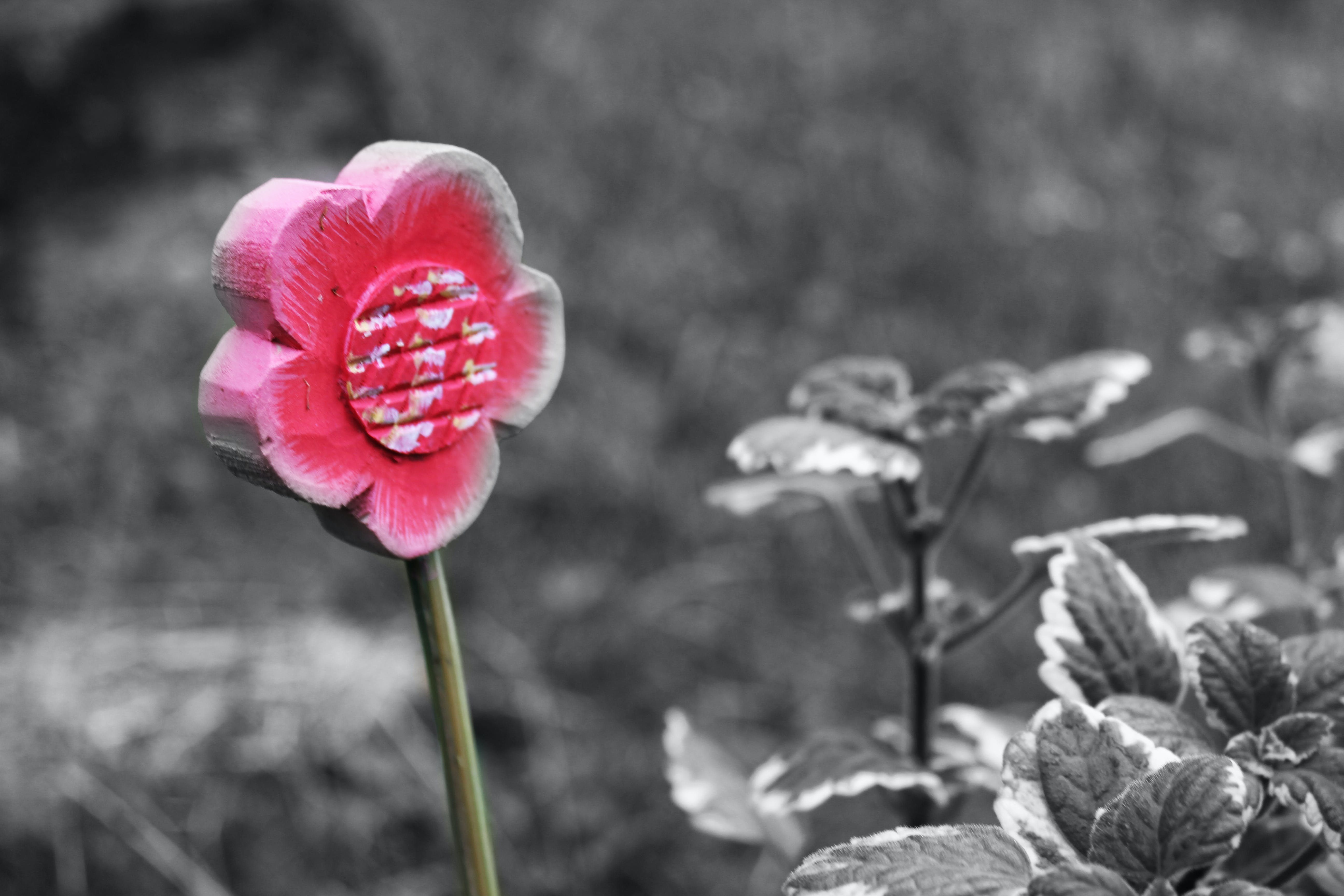 Free stock photo of black and white, flower, nature, red