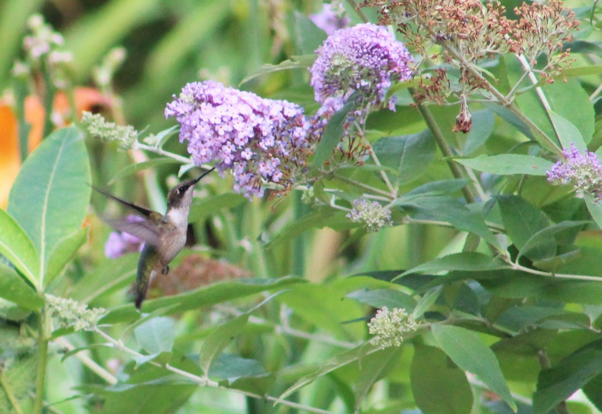 Free stock photo of female birds, flying hummingbird, hummingbird, hummingbird and flower