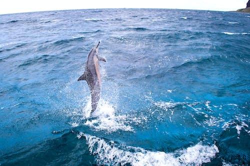 Ingyenes stockfotó delfin, hawaii, óceán, széles látószögű témában