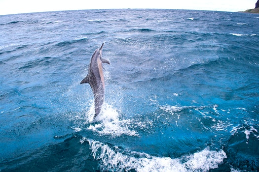 Free stock photo of ocean, hawaii, wide-angle, dolphin