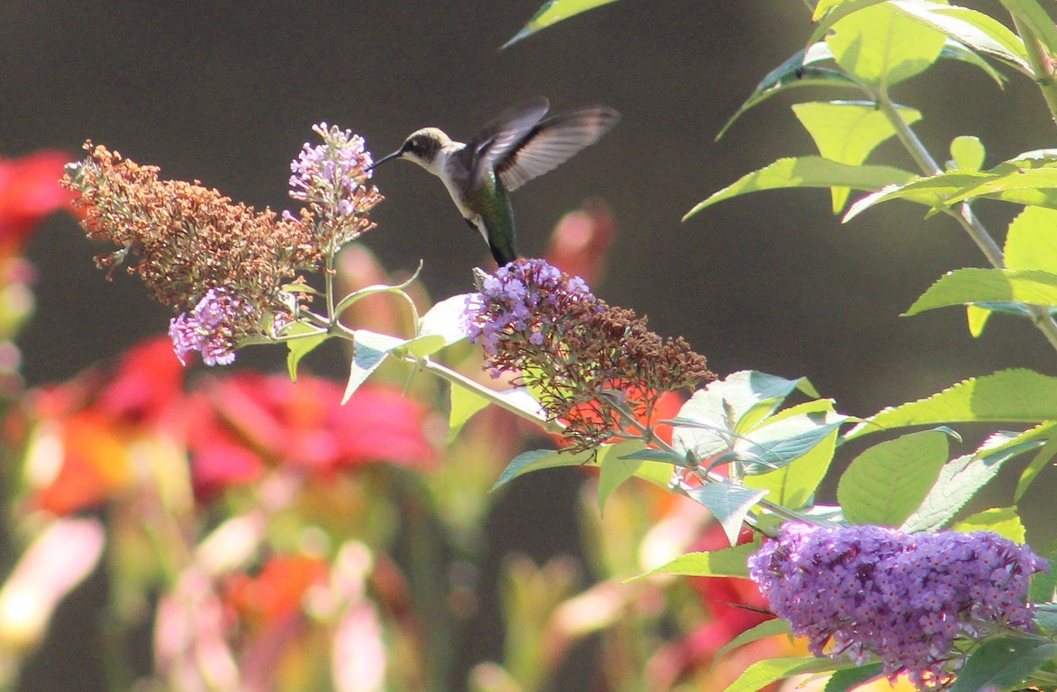 Free stock photo of flying hummingbird, male hummingbird, nectar, purple flowers