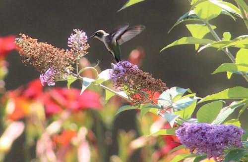 Darmowe zdjęcie z galerii z dziki ptak, fioletowe kwiaty, latający koliber, letnie kwiaty