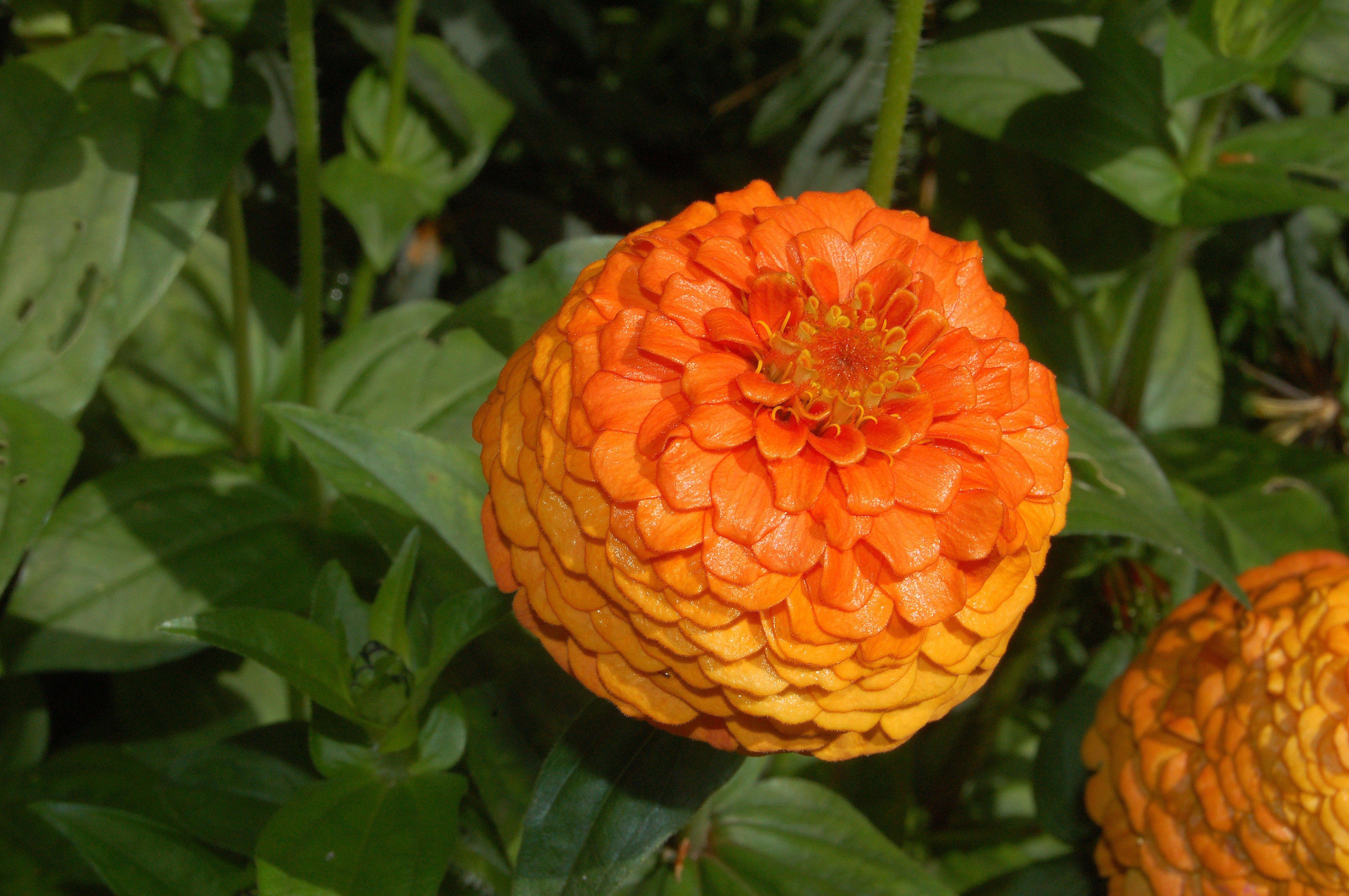 Základová fotografie zdarma na téma kytka, oranžová