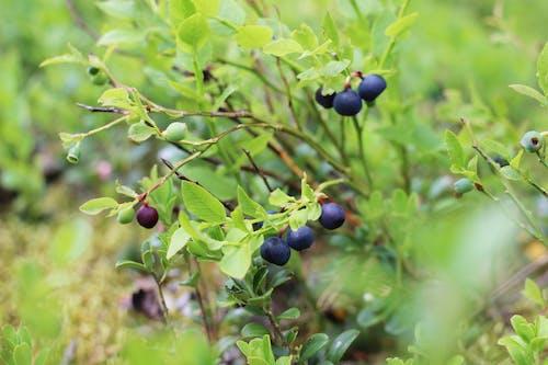 Безкоштовне стокове фото на тему «літо, фрукт, Чорниця, ягоди»