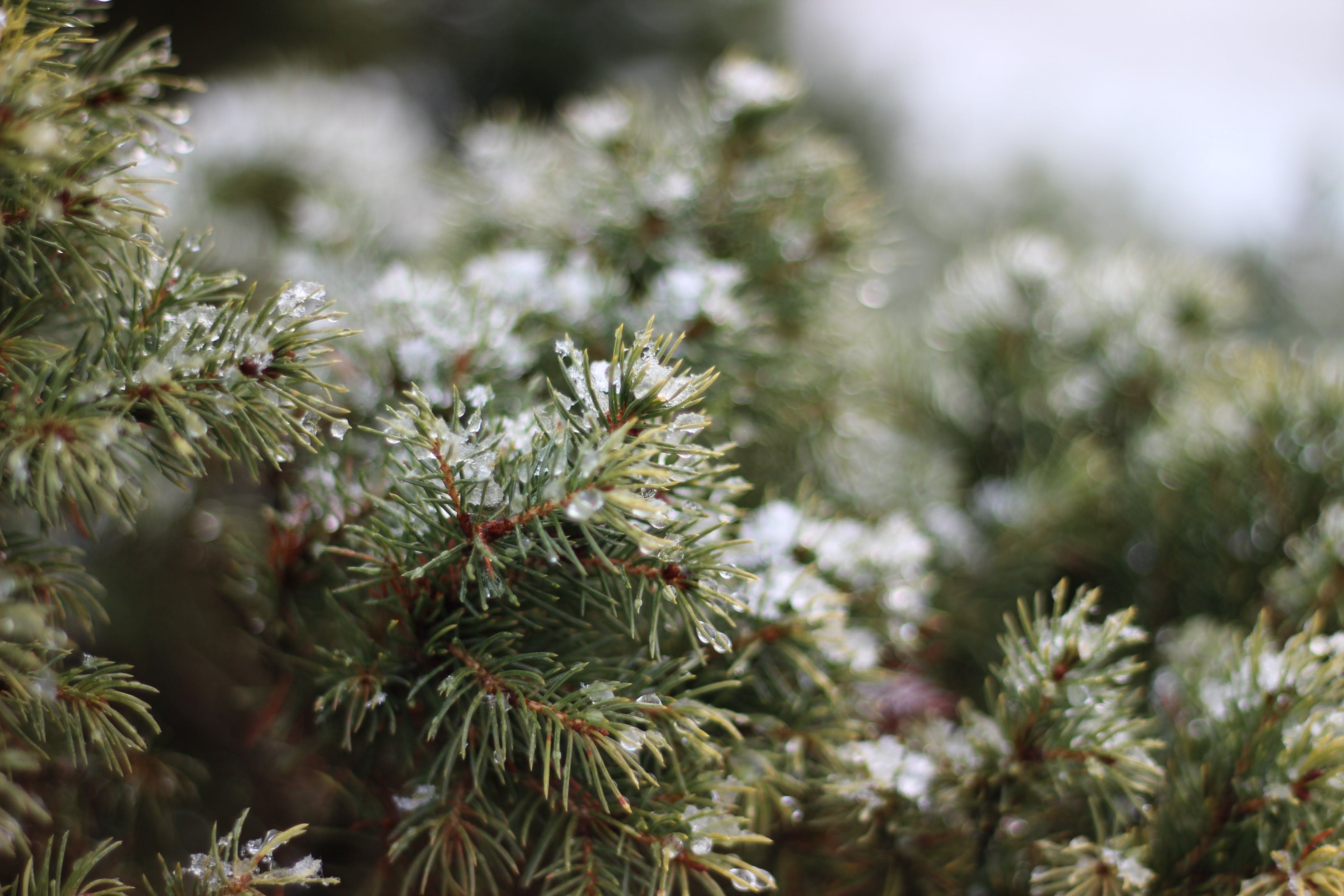 Free stock photo of snow, spruce, winter