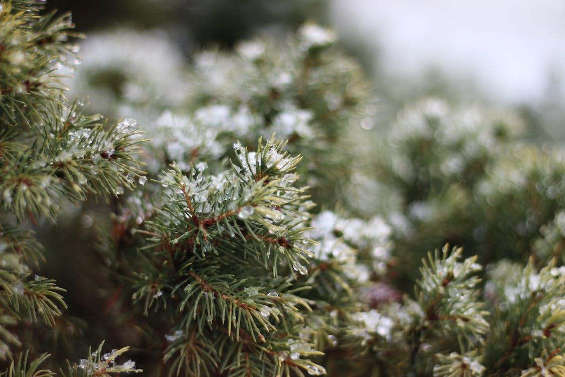 Free stock photo of snow, spruce, winter