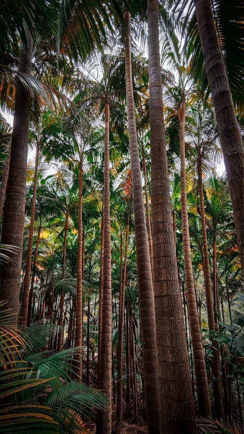Tall palms in tropical forest
