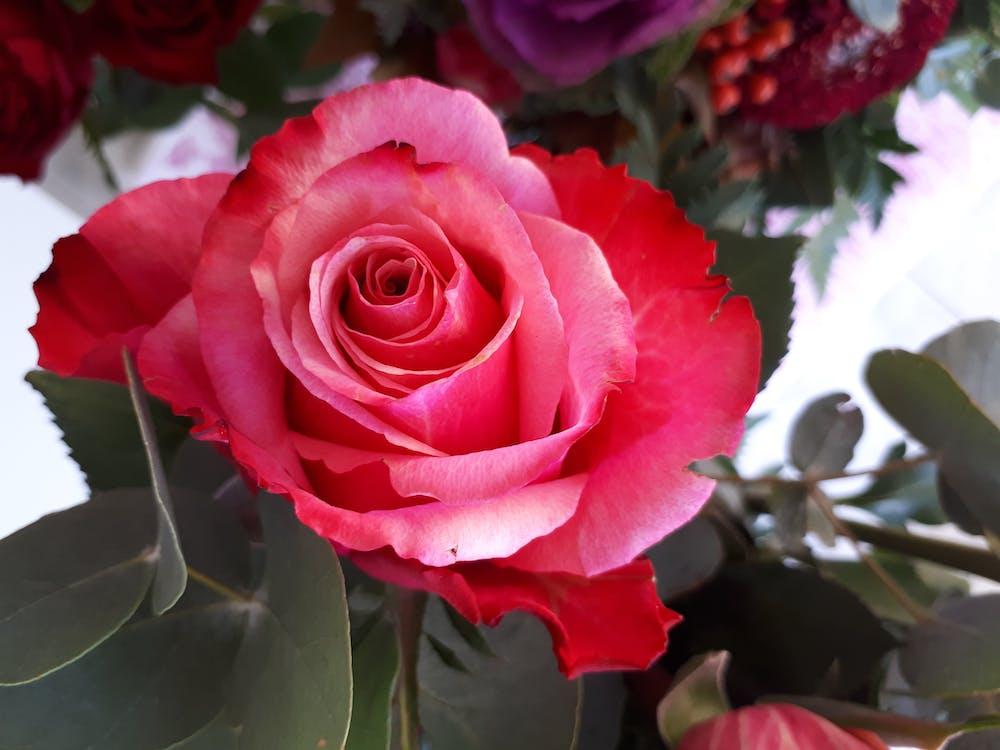 ботанический, Красная роза, лепестки