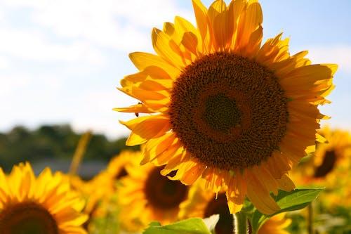 Fotos de stock gratuitas de amarillo, campo, flor, flora