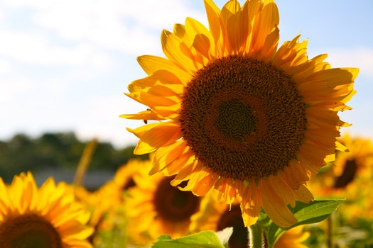 Yellow Brown Sun Flower during Daytime