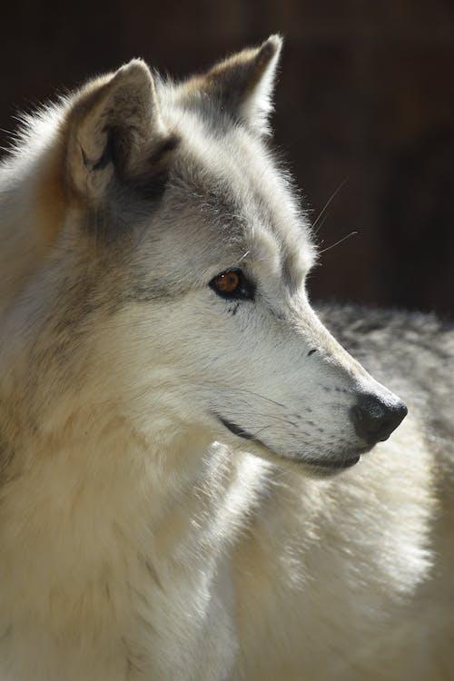 Immagine gratuita di lupo, lupo grigio, parco nazionale di yellowstone