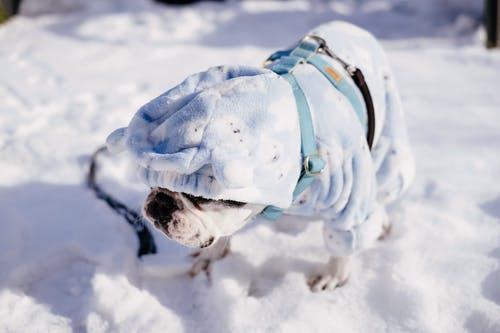 Photos gratuites de bouledogue, bouledogue français, frenchie