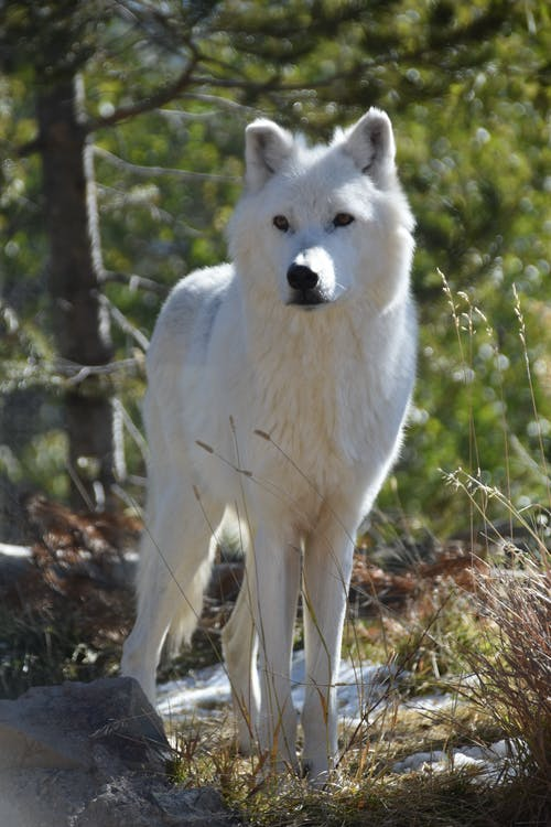 Základová fotografie zdarma na téma vlk