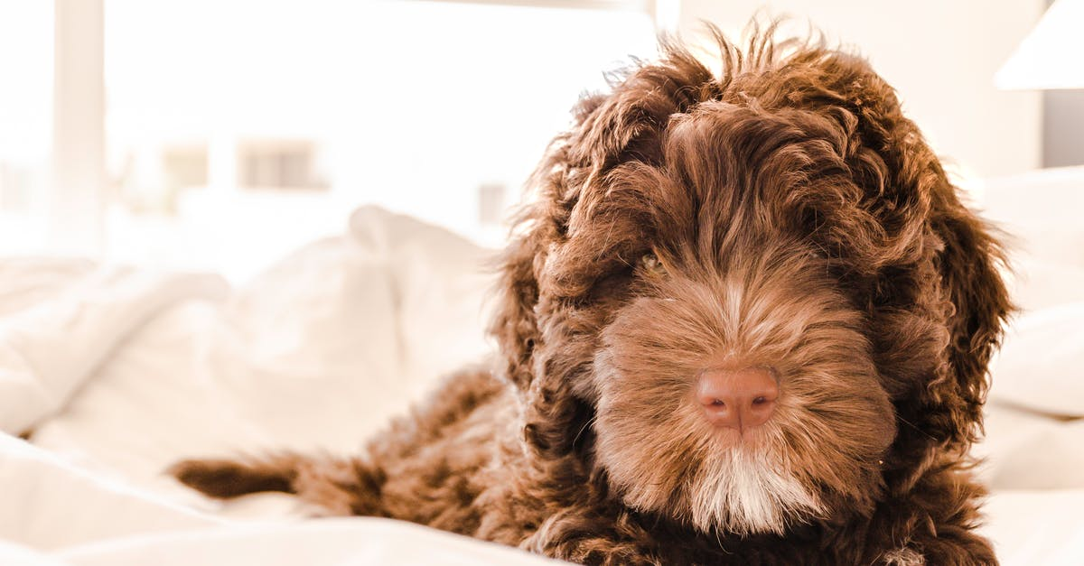 Brown And White Portuguese Water Dog Puppy 183 Free Stock Photo