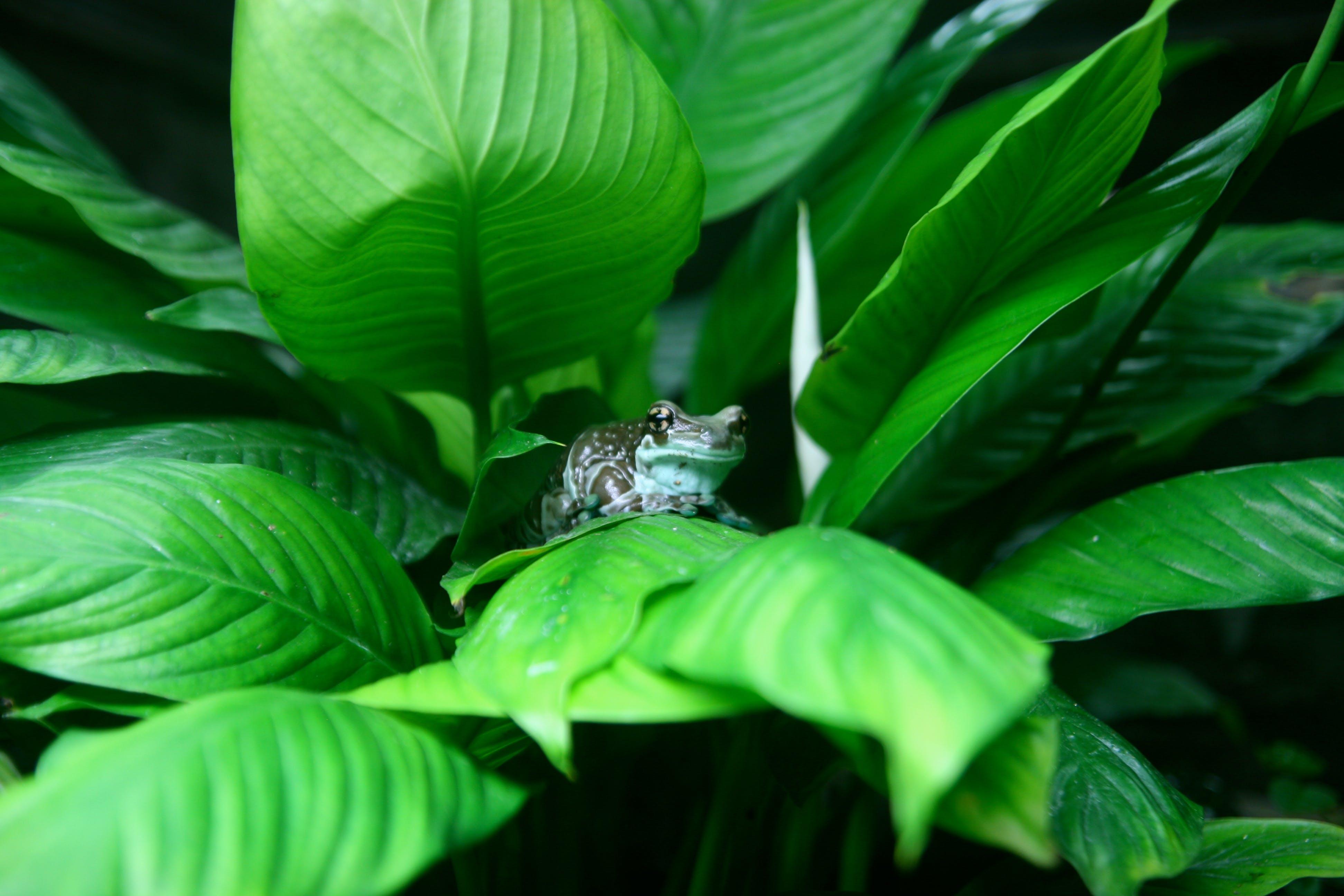 amphibie, frosch, grün