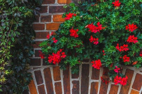 Photos gratuites de courir, fleurs, lierre, médiéval