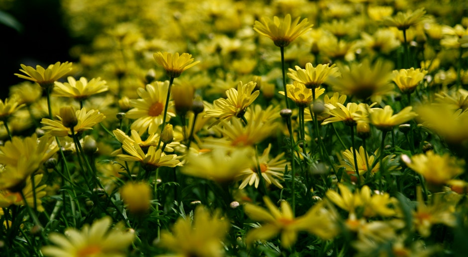 Yellow Petal Flower Field