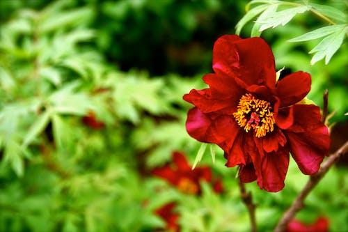 Photos gratuites de fleur, fleur rouge, jardin, nature
