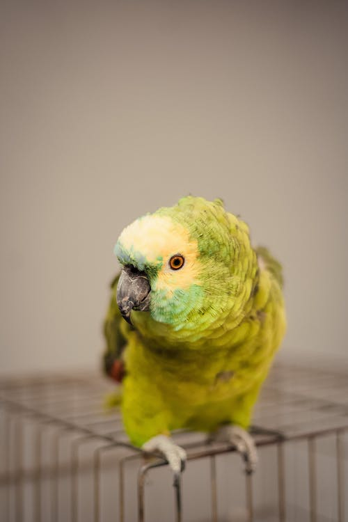 Little funny parrot with soft green plumage on iron cage on blurred background
