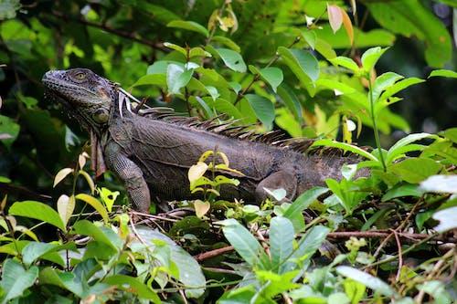 doğa, iguana, karayipli, kosta rika içeren Ücretsiz stok fotoğraf