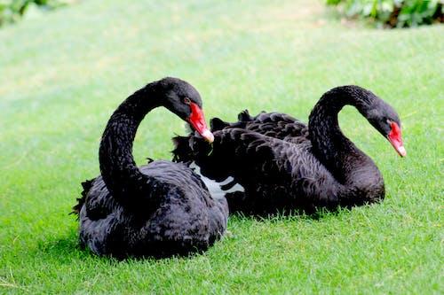 doğa, ispanya, siyah kuğu, vahşi hayvan içeren Ücretsiz stok fotoğraf
