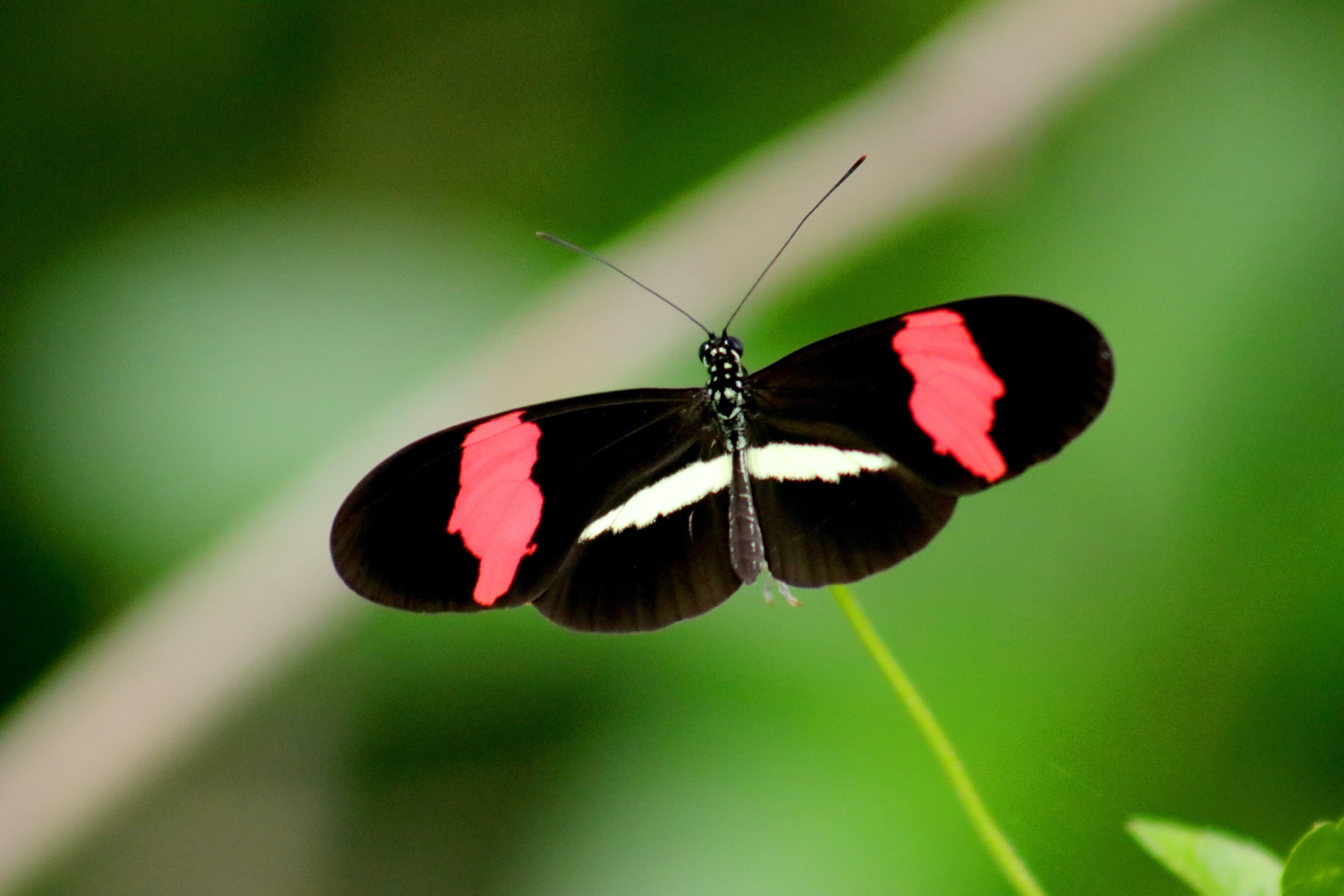 Black, Red, and White Butterfly in Closeup Photo