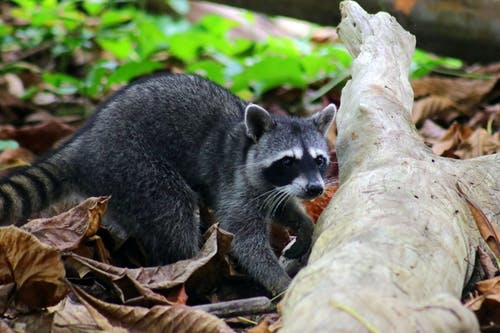 哥斯達黎加, 國家公園, 天性, 浣熊 的 免費圖庫相片