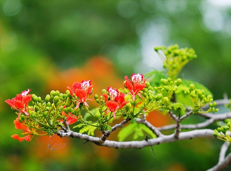 Red Flowers in Tree Photography