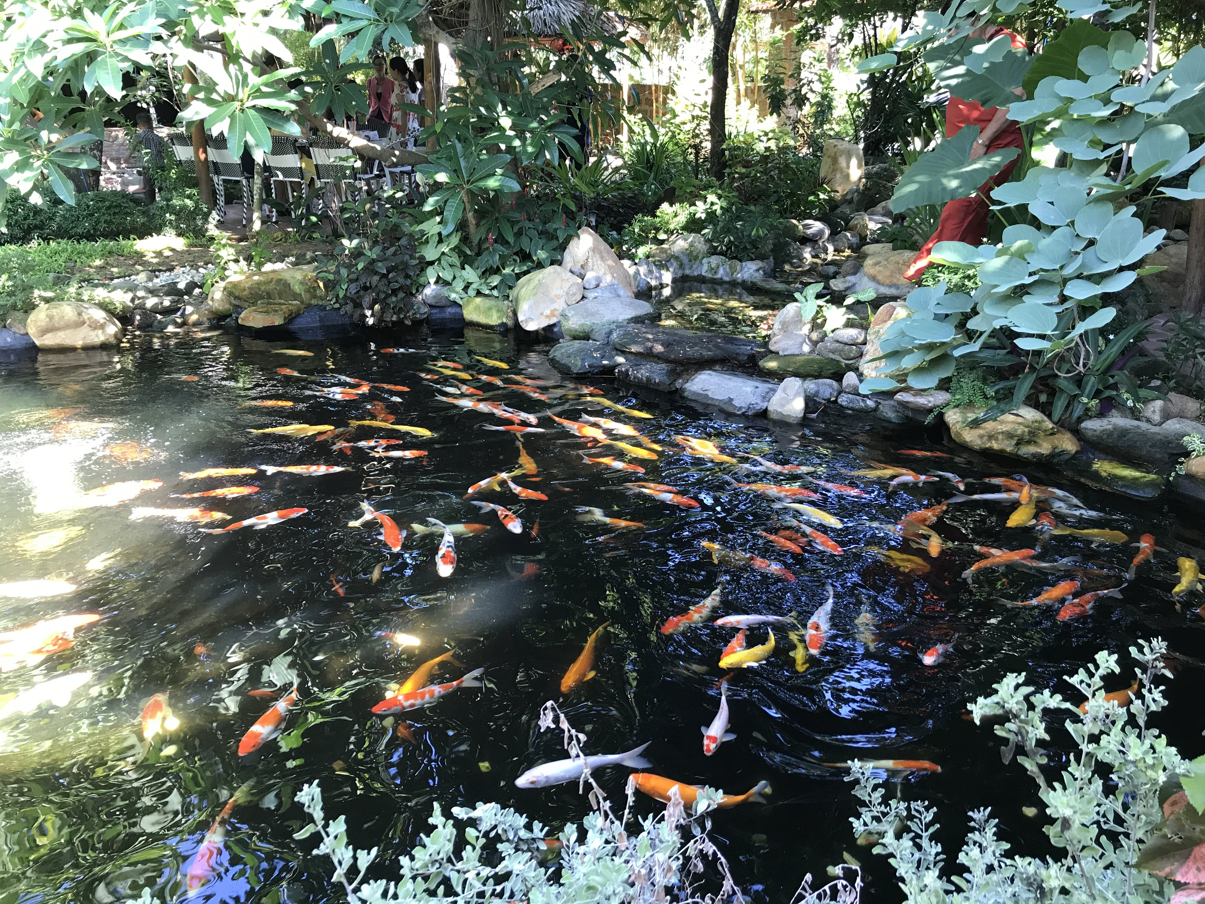 Free stock photo of aquarium, Koi Fish