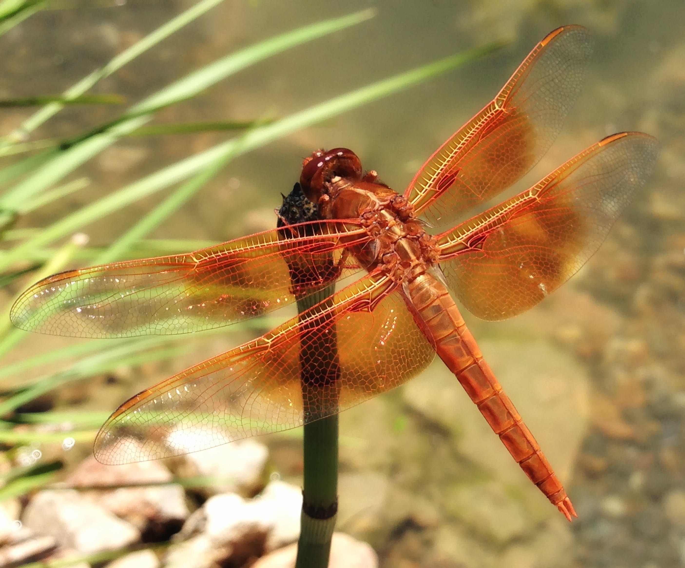 Red Dragonfly on Leaf