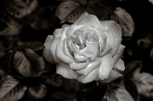 Close Up Shot of a Rose