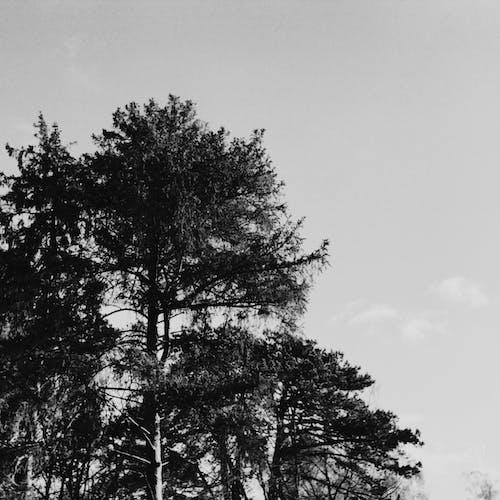 Бесплатное стоковое фото с деревья, небо, черно-белый