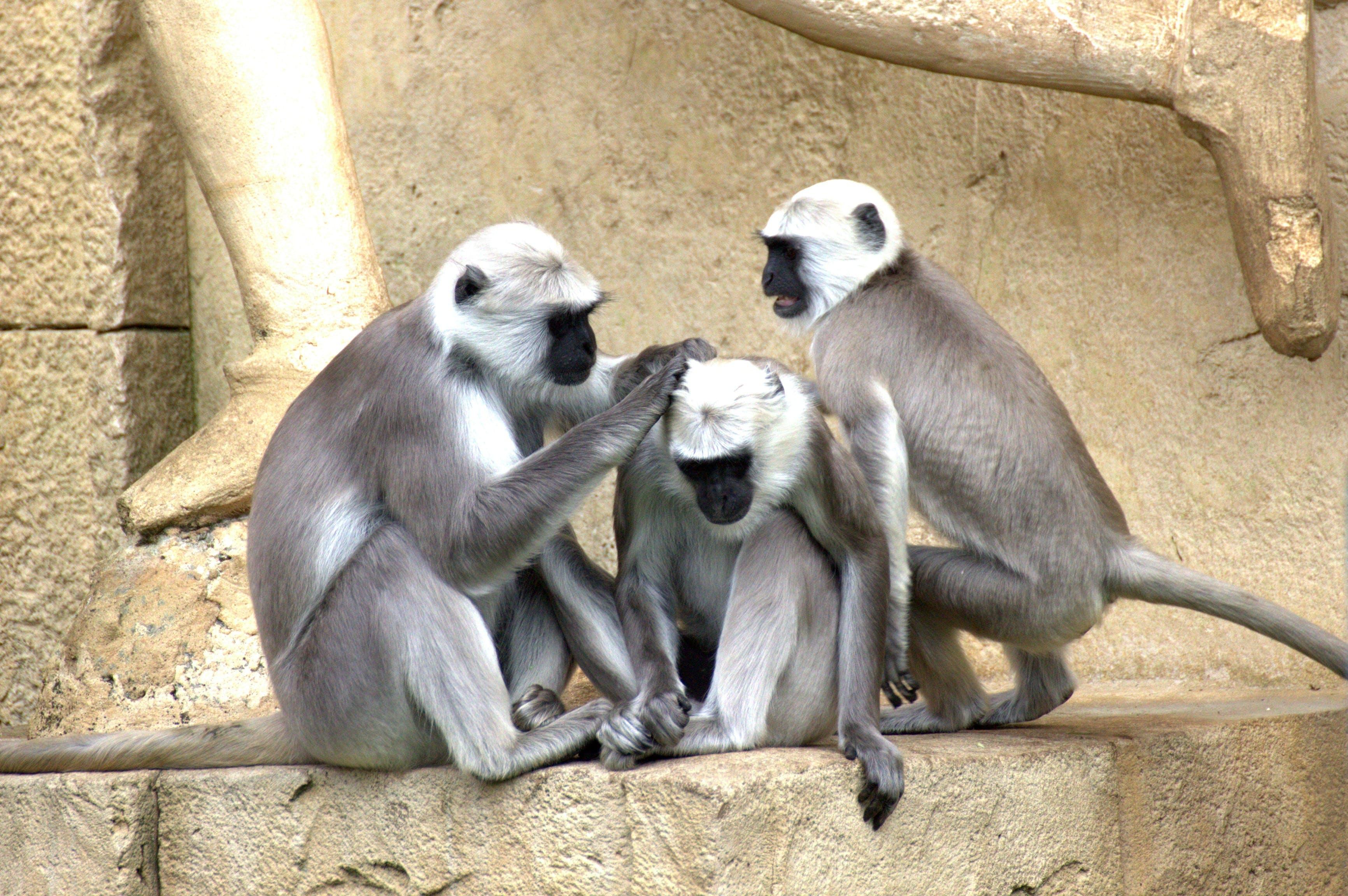 Grey and White Monkey