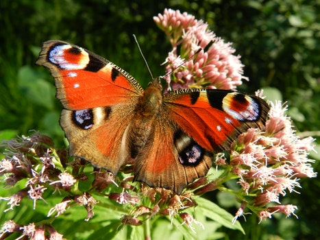 Red Brown White Butterfly on Top of Pink Clustered Flower