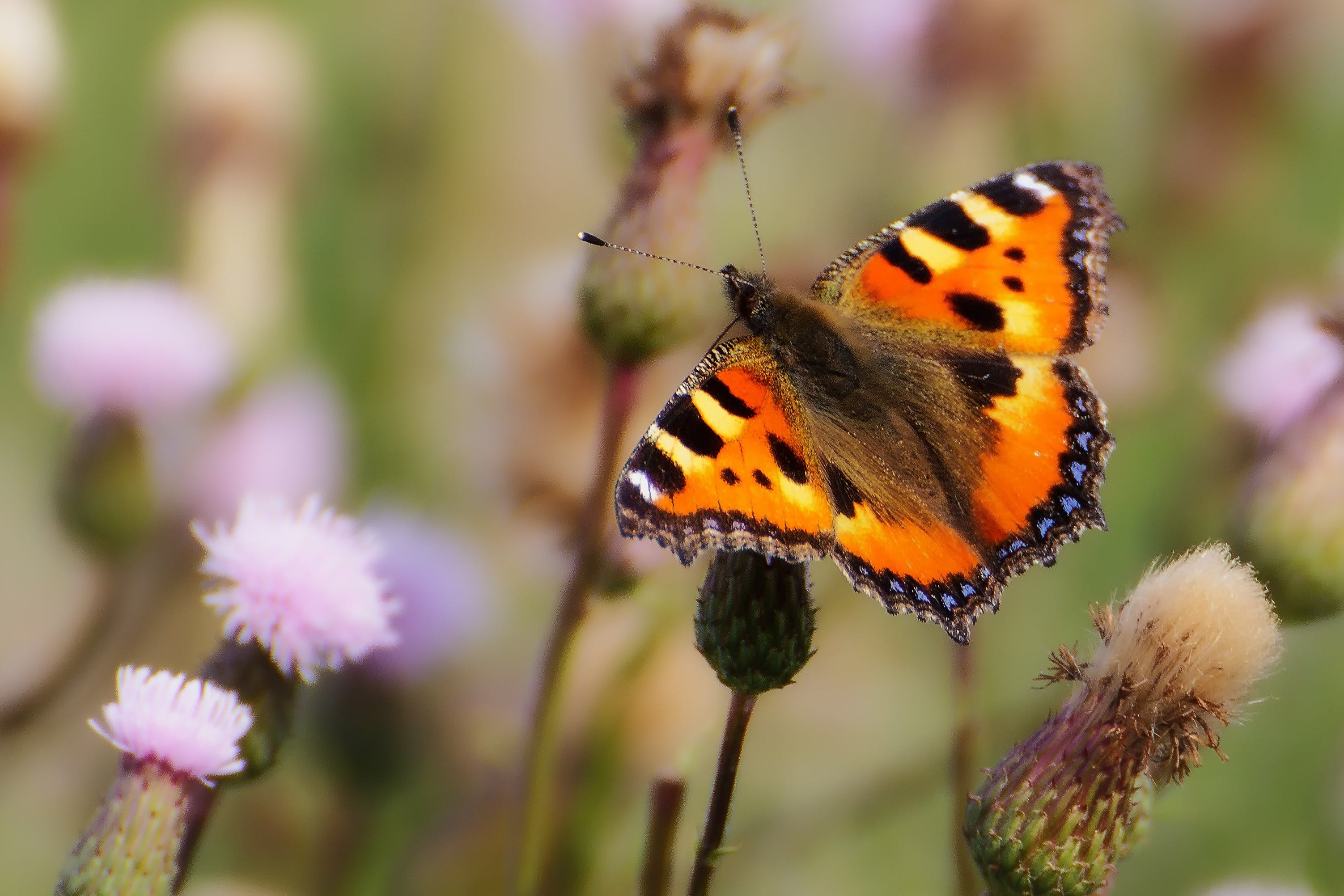 Kostenloses Stock Foto zu natur, insekt, makro, schmetterling