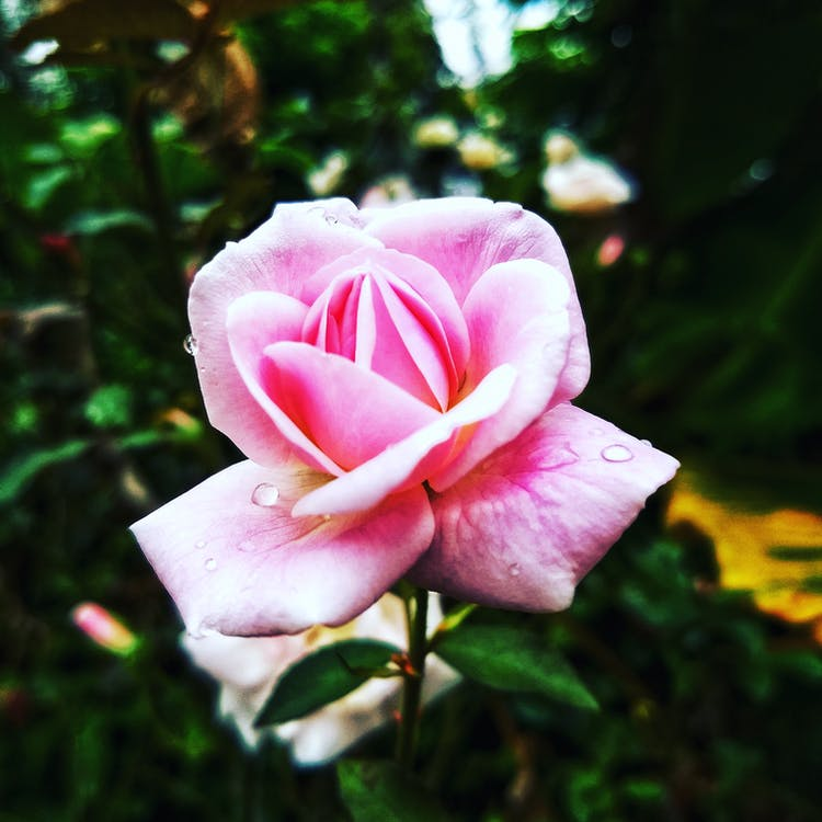 Pink Rose Flower in Closeup Photo