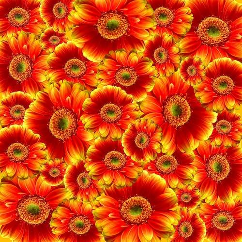 คลังภาพถ่ายฟรี ของ ดอกไม้, พฤกษา, เบ่งบาน, เยอบีร่า